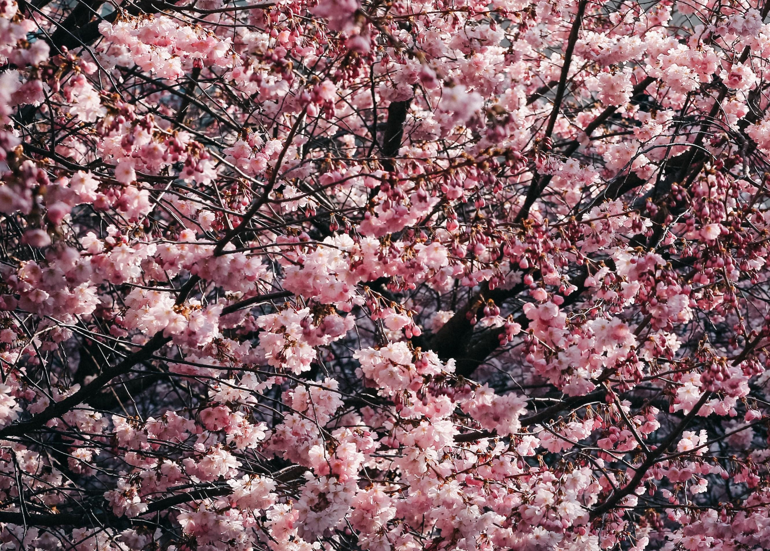 cherry_blossom_tree_3d-resized